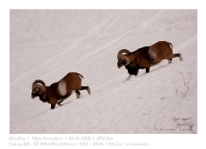 VincR_2008-01-04-mouflons