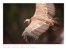 VincR_2009-01-18_vautour_vol
